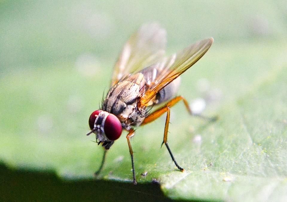 fruit-fly-treatments