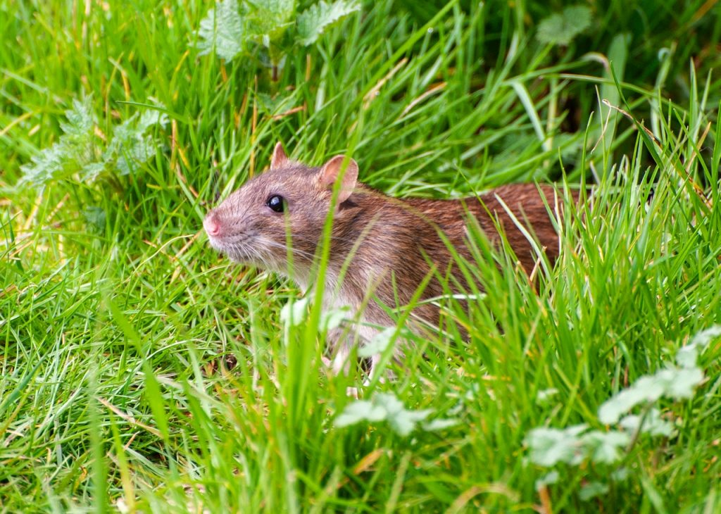 rodent in the yard