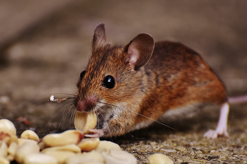 preventing rodent control